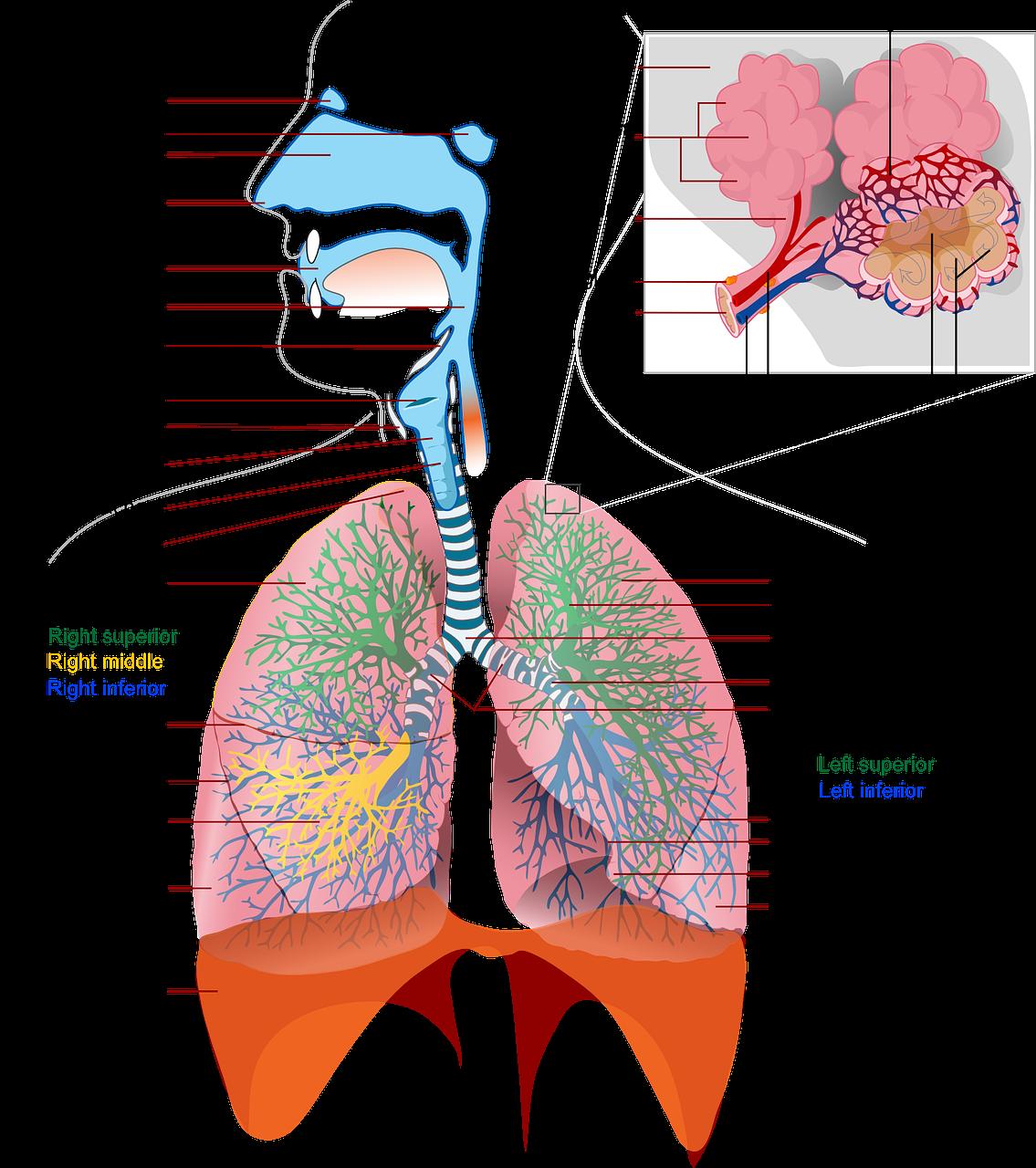 Hengitysteiden rakenne