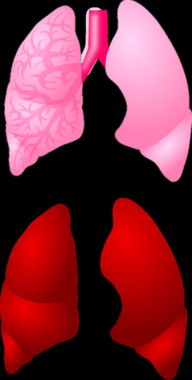 Keuhkot koostuvat eri lohkoista