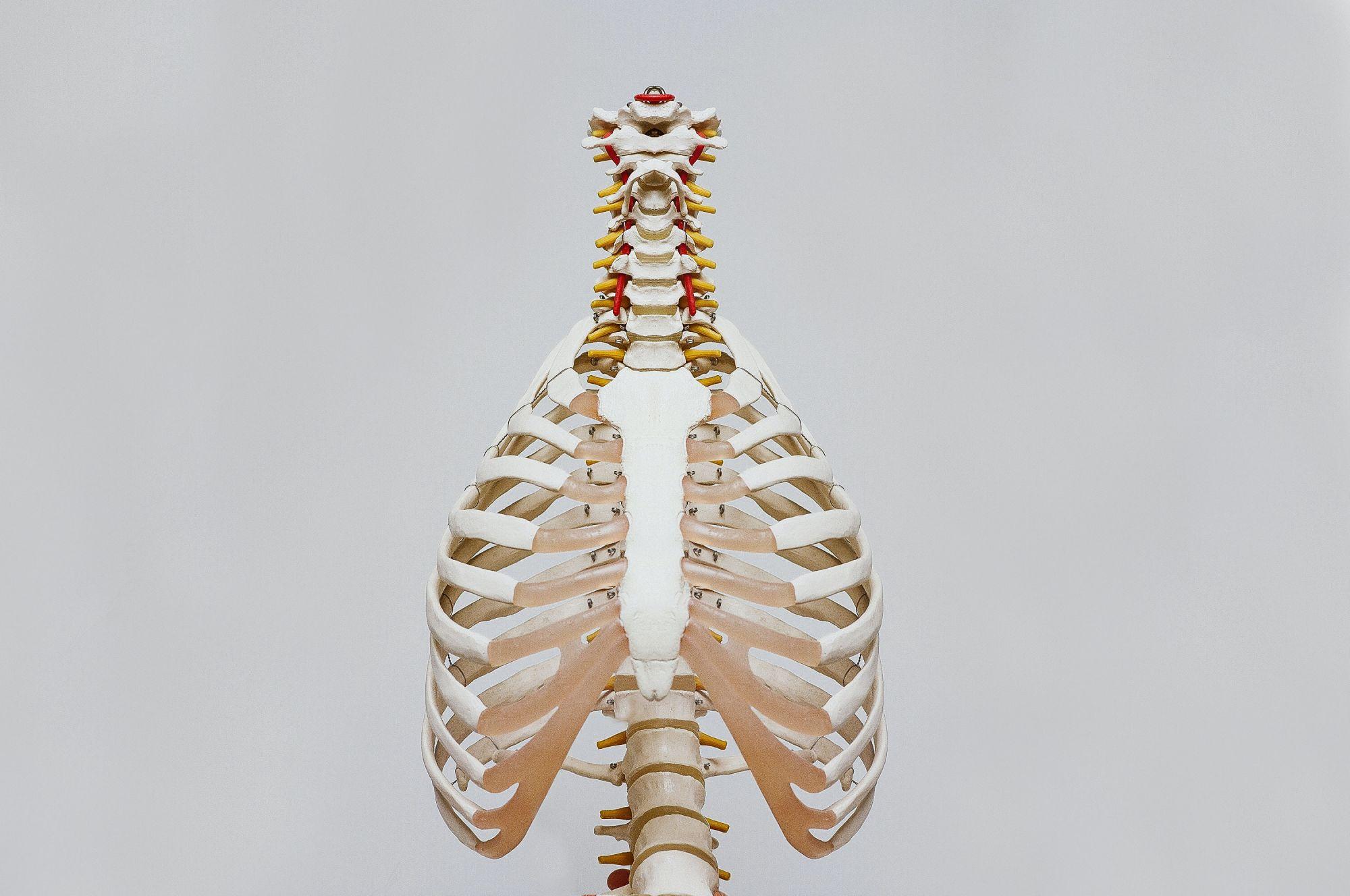 Keuhkot sijaitsevat luisen rintakehän sisällä